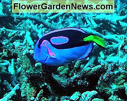 Aquarium with Coral and Pacific Blue Tang Fish. Clear glass preserves the beauty of the underwater scene.