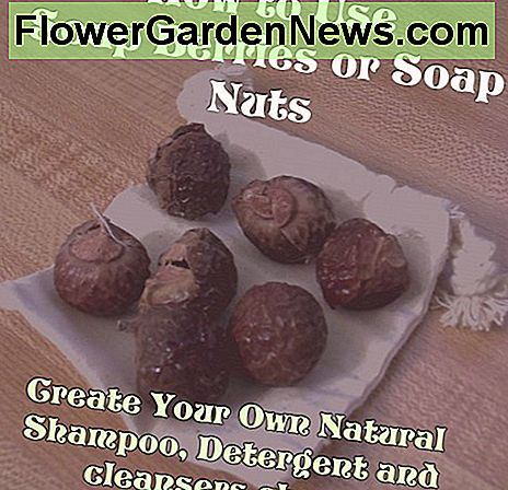 Learn how to use soap berries aka soap nuts to create a variety of biodegradable, all-natural products.