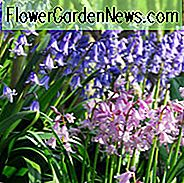 Spansk Bluebell, Spansk Bluebells, Scilla Hispanica, Scilla Campanulata, Endymion Hispanicus Hyacinthoides Excelsior, Hyacinthoides Queen of Pinks, Hyacinthoides White City, Blomsterkulbe, Blomstrende, Blå blomster