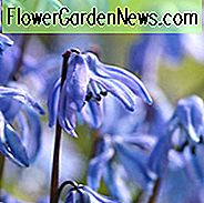 Scilla Siberica, Siberian Squill, Spring Beauty, Bulbs Design, Spring Bulbs, Early spring flowers, mid spring flowers, blue flowers in spring