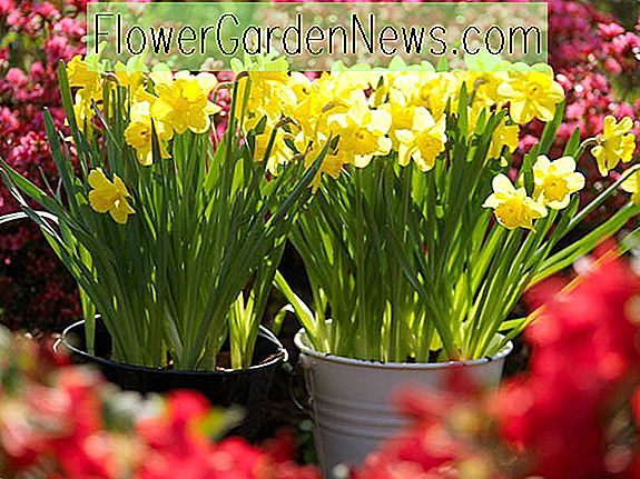 5 Narcissen planten Tips
