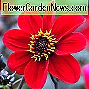 Dahlia 'Happy Single Romeo',