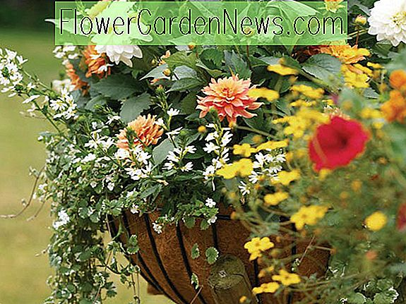 Dahlias for containere, Dahlias for potter, Dahlias Karma, Dahlias Happy Single, Dahlia Park Prinsesse, Dahlia Melodi Harmoni, Karma Dahlias, Gratulerer Single Dahlias, Dahlia Sunshine