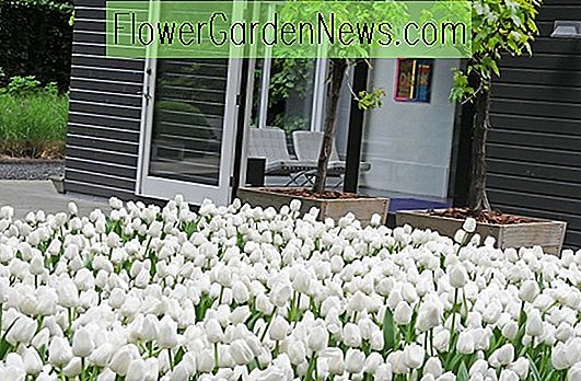 Contempory witte tuin, witte lentebloemen, Muscari botryoides, Anemone blanda witte pracht, narcis Thalia, witte tulpen, witte narcissen, witte narcis, witte anemonen, witte muscari