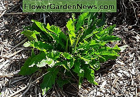Don't forget the humble dandelion. It grows beautifully in the shade and makes good salad greens and fodder.