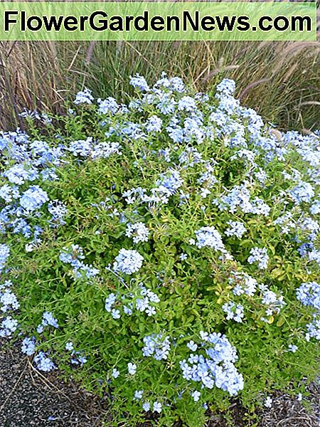 Plumbago planted near our community clubhouse.