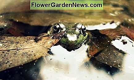 If you want to get rid of noisy frogs, you will have to temporarily remove the habitat that they like: water and tall grassy plants.