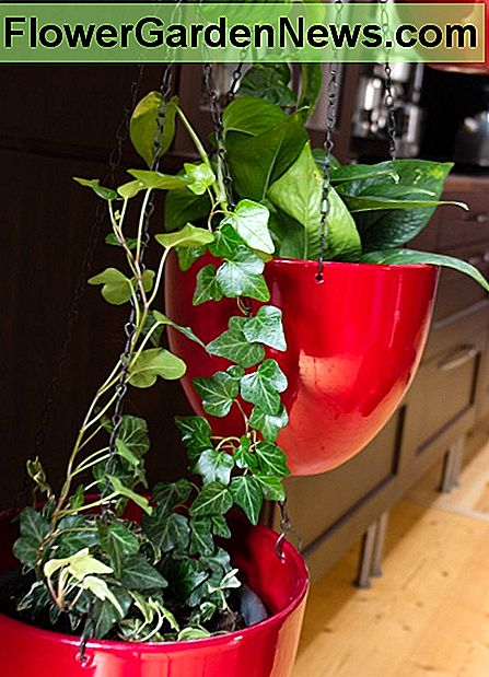 Make sure your hanging pots are sturdy enough to support the weight of the plant. You can also keep tendrils out of reach by making them climb the chain.
