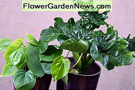 Philodendrons are one of the most popular houseplants. Here are two philodendrons with different leaf shapes.