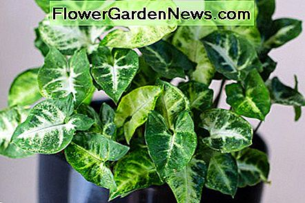 Arrowhead plants (Syngonium podophyllum) have long, heart-shaped leaves.