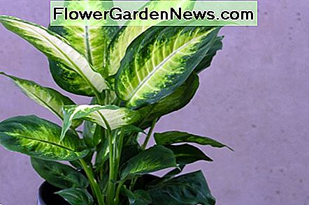 Dieffenbachia can cause paralysis of the throat and tongue.