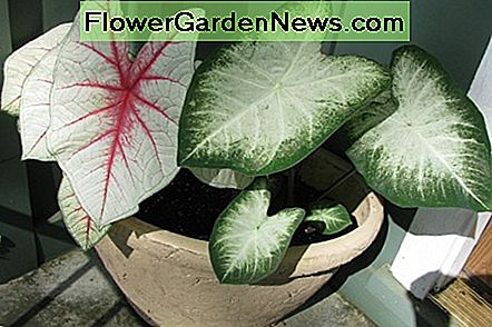 The beautiful, decorative caladium is toxic to both humans and animals.