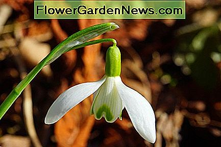 Snowdrop – example of a plant with an herbaceous stem.