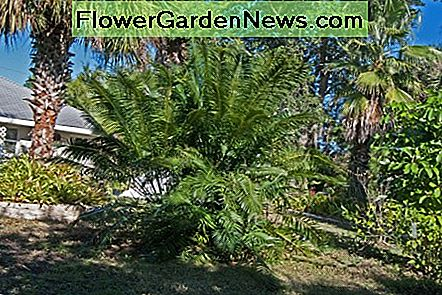 Killing Cycad Scale with Coffee Grounds