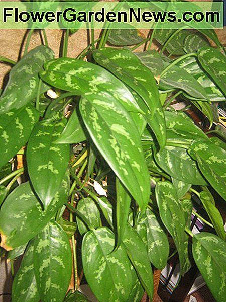 Chinese Evergreen or Aglaonema
