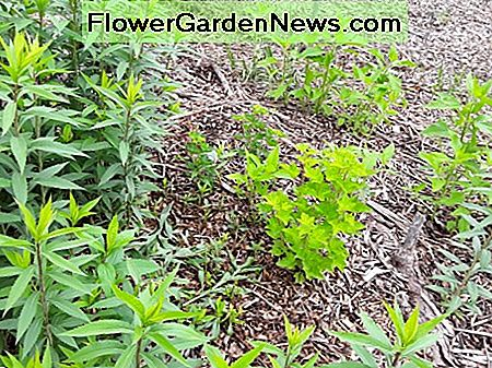 I chop and drop this goldenrod whenever it encroaches on this red current or other desirable plants.