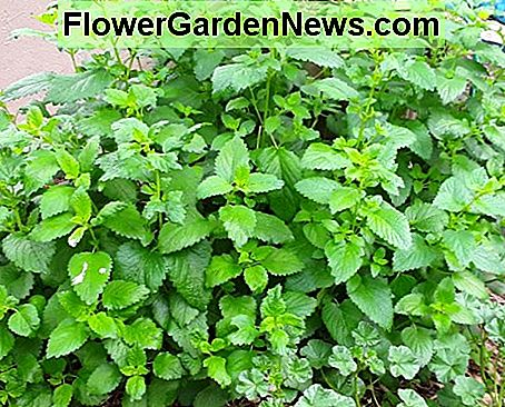 In addition to a mosquito repelling biomass crop, lemon balm is a tasty salad green...if you don't mind the taste of murphy's oil soap in your salad. Still, when it is almost the only thing up early in spring, it is appreciated.