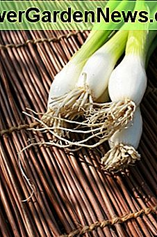 Onions, especially spring onions are so easy to grow!
