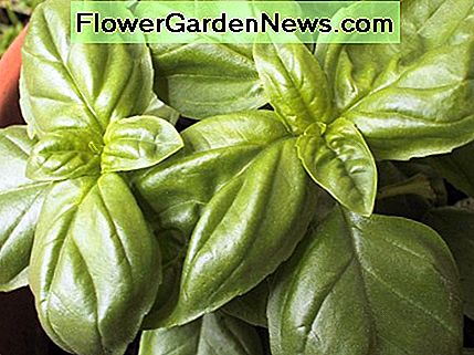 The magnificent basil is easy to grow, quite prolific, and is a necessary complement to Italian cuisine.