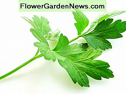 Parsley comes in two main varieties. This photo shows the broad leaf or