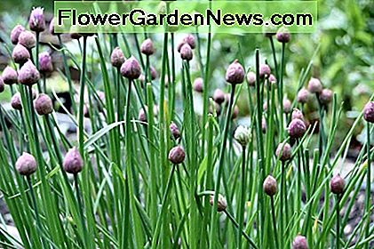 Chives may be one of the most versatile of all herbs. Here, chives are growing in the garden.