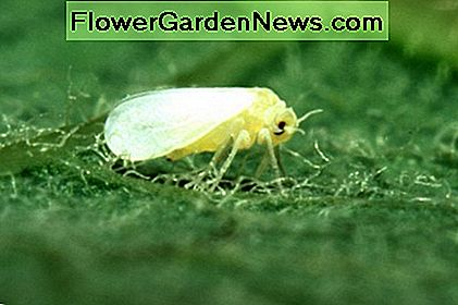 The whitefly causes sooty mold.
