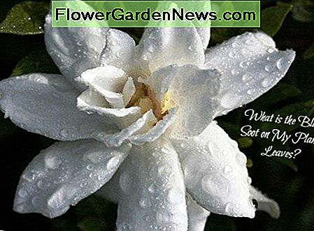 Gardenias are just one of the plants affected by black soot.