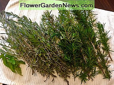 Air drying Rosemary on a towel