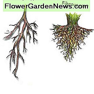 You will need to learn the difference between a taproot and a fibrous root because if you live in a dry climate, fibrous rooted plants might not be the best choice for you. Taproots can grow deep into the soil to find water.