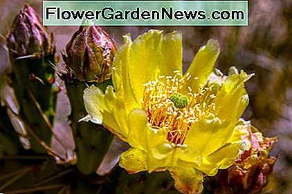 A cactus in bloom is a beautiful sight indeed. Wouldn't this drought-tolerant plant be a great addition to your garden?