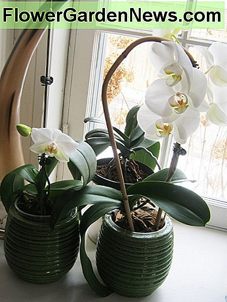 Theses moth orchid have been in a north east facing window for several years.