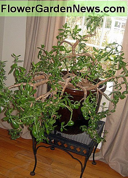 This old Jade plant is so top heavy it needs to live in a large, heavy container.
