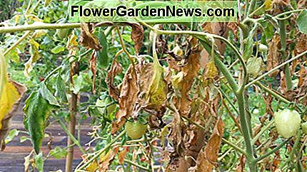 Root rot causes leaves to wilt, turn yellow and decay.