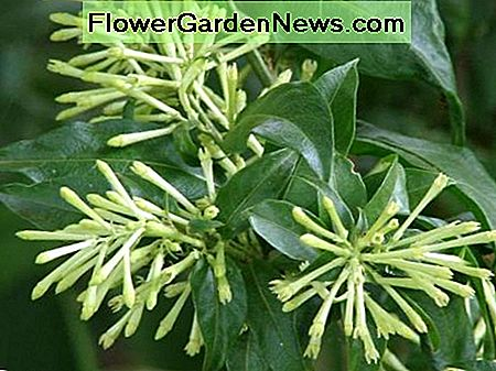 cestrum nocturnum (night blooming jasmine) in the daytime with its flowers closed