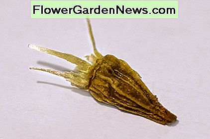 Although this seed has been magnified many times over you can see that it is not shaped like an ordinary flower seed. When you start looking for seeds to buy, they will probably be labeled as Gaillardia.