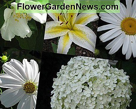 Witte Vaste Planten.Planten Met Witte Bloemen Vaste Planten Eenjarigen Bollen En