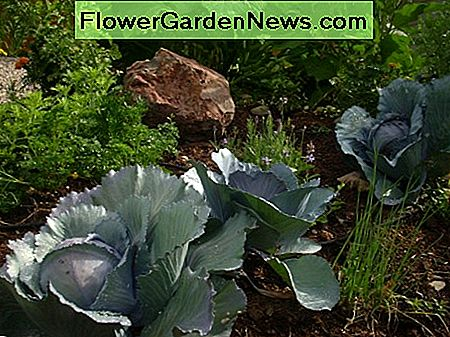 Red cabbage is the star of this flower bed.