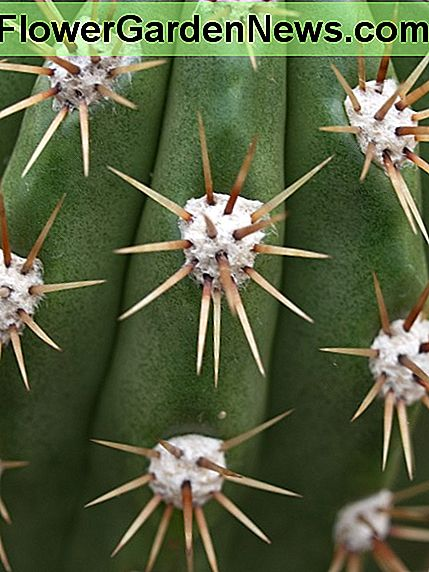 Areoles of an Echinopsis species