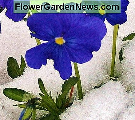 Many varieties of pansy are cold hardy.