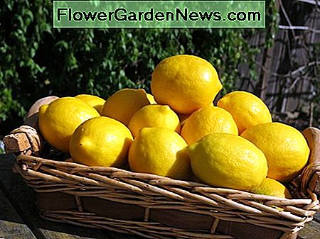 Comment faire pousser un Meyer Lemon Tree
