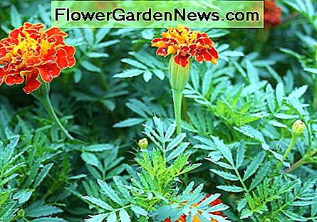 Marigolds in the garden reduce the prevalence of root-knot and root-lesion nematodes (microscopic worms) in the soil.