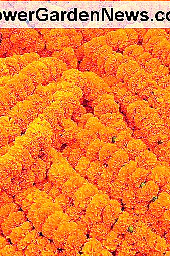Marigold garlands are used as decorations throughout India and the Indian subcontinent.
