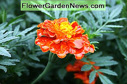 We grow a mix of French marigolds for a variety of blooms in various combinations of orange, red and yellow.