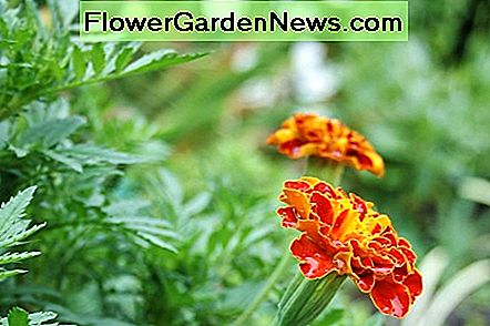 French marigolds grow about a foot tall, smaller than African marigolds & larger than rock-garden marigolds.