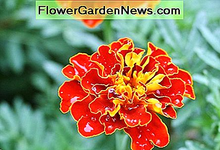 French marigolds actually originated in Mexico.