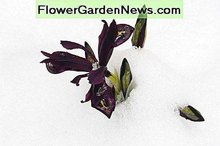 The dwarf iris blooms at approximately the same time as snowdrops. This flower is a very pretty way to welcome spring!