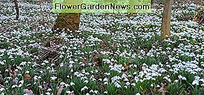 Snowdrops are beautiful when allowed to naturalize under lawns or in wooded areas.