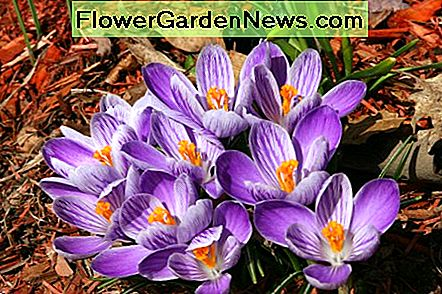 Crocuses bloom in early spring.