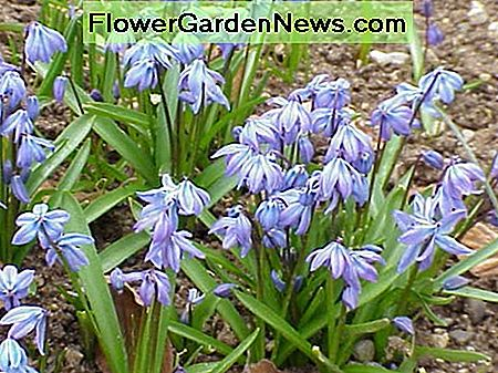 Siberian Scilla, or Blue Siberian Squills, come in blue and white varieties.