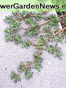 Purslane photographed on a sidewalk in Lynwood.